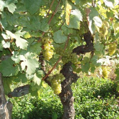 La vigne de Liesle