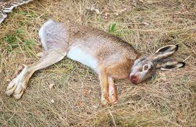 Stock photo the dead hare on the